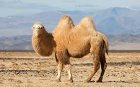 Image result for camel picture