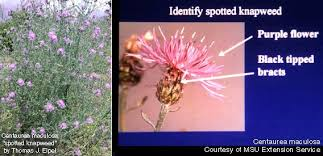 Centaurea maculosa, C. diffusa: Spotted and Diffuse Knapweed ...