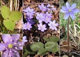 Hepatica nobilis Mill. - Sistema informativo sulla flora delle Alpi ...