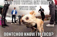Chihuahua Love on Pinterest | Chihuahuas, Funny Chihuahua and ... via Relatably.com