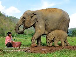 baby elephant photos save elephant foundation baby elephant dok mai at enp