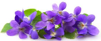 """Résultat de recherche d'images pour """"violettes de toulouse"""""""