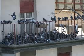 Risultati immagini per piccioni e guano di piccione
