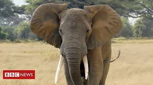 Botswana: Mystery <b>elephant</b> deaths caused by cyanobacteria - BBC ...
