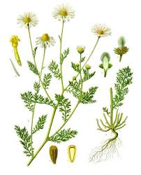 Anthemis cotula - Wikipedia