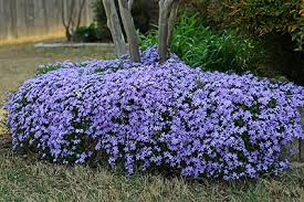Image result for creeping blue phlox