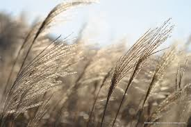 「芒草」的圖片搜尋結果