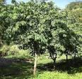 Images & Illustrations of custard apple tree