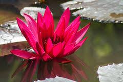 Resultado de imagen para flores loto