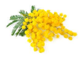 Risultati immagini per mimosa immagini