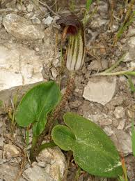 Arisarum - Wikipedia