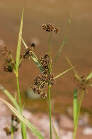 Scirpus atrovirens - Michigan Flora