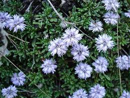 Globularia - Wikipedia
