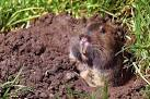 Images & Illustrations of valley pocket gopher