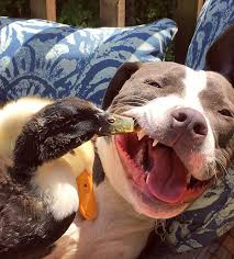 Image result for duck hug dog
