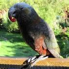 montefiori collection 2 parrots talking voiceovers cartoon