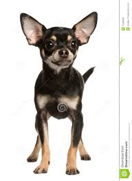 Image result for chihuahua dog