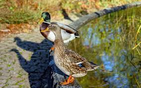 britain s most unusual work perks adzuna feeding ducks