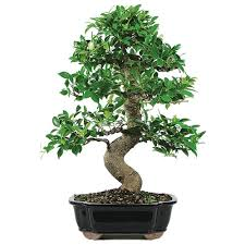 indoor bonsai trees are those varieties that best adapt to growing in your house or office some people mistakenly believe that all bonsai can be kept bonsai tree for office