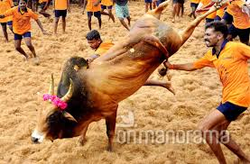 Image result for pictures of jallikattu