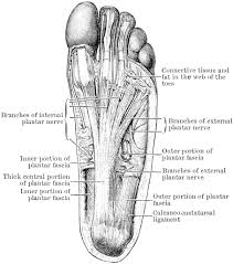 bone structure diagram human foot   anatomy human body    bone structure diagram human foot tag human foot bones diagram human anatomy diagram