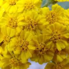 Achillea tomentosa (woolly yarrow): Go Botany