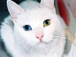 Resultado de imagen de gatos con ojos azules