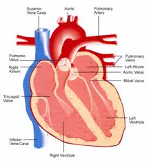 diagram blood flow through the heart photo album   diagramsblood flow through the heart diagram photo album diagrams