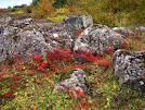 iceland lichen