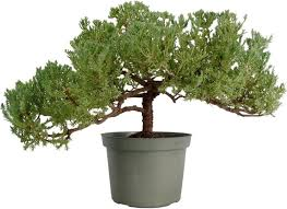 juniper bonsai tree windswept 1057 bonsai tree