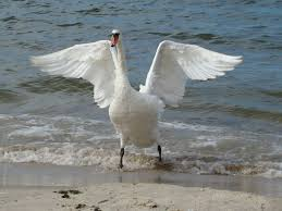 Image result for swan with wings spread