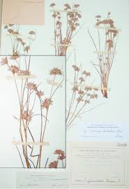 Juncus sorrentinii (Tánger, MA 18830) | Download Scientific Diagram