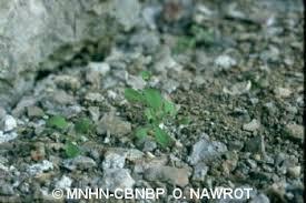 Myosotis speluncicola (Schott ex Boiss.) Rouy, 1881 - Myosotis des ...