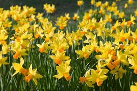 Image result for daffodils