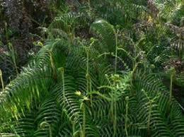 Image result for fiddlehead fern