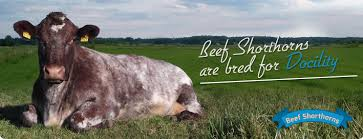 Image result for irish shorthorn logo