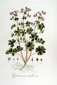 Geranium molle — Wikipédia