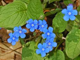 Omphalodes verna - Wikipedia
