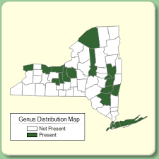 Puccinellia - Genus Page - NYFA: New York Flora Atlas - NYFA ...