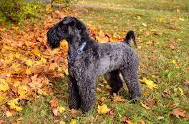 <b>Керри блю терьер</b>: характеристики породы собаки, фото ...