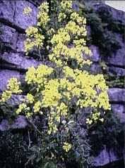Brassica villosa drepanensis - Wikipedia