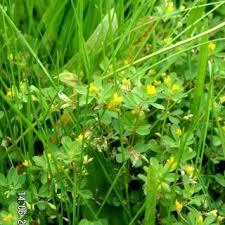 Trifolium micranthum | Online Atlas of the British and Irish Flora