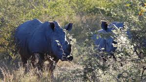 photo essay kruger national park safari kurger safari rhino