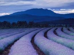 Lavender herb fields of Provence, France