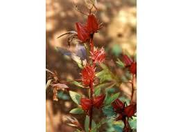 <b>Каркаде</b> (<b>Гибискус</b>) <b>Цветок</b> IPHYM Травы Гибискус sabdariffa Л.