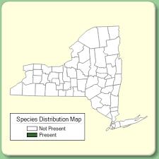 Nonea lutea - Species Page - NYFA: New York Flora Atlas
