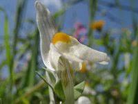 Linaria reflexa