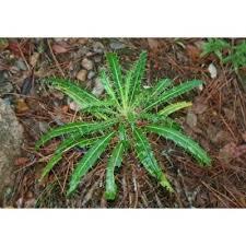 Genere Ptilostemon - Flora Italiana