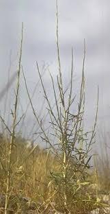 Lactuca viminea (L.)J. & C.Presl. | Flora of Israel Online