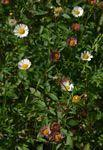Species information: Erigeron karvinskianus - Flora of Zimbabwe
